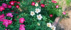 This was a pretty rose combination that I planted early on in my garden.
