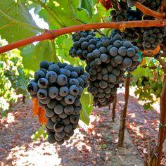 Souzao (Silvaspoons Vineyards; Alta Mesa AVA)