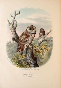 Die Raubvögel Deutschlands und des angrenzenden Mitteleuropas;. Cassel [Germany]Verlag von Theodor Fischer,1876.. biodiversitylibrary.org/page/47850810