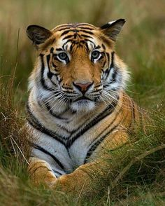 Tiger Photo by ©Sudhir Shivaram #WildworldFriend