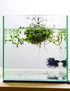 Fuck Yeah Aquascaping — petiteplanet: Betta tank with a wabi ball – ADA. Aquarium Aquascape, Betta Aquarium, Aquascaping, Planted Aquarium, Betta Tank, Colorful Fish, Tropical Fish, Water Terrarium, Nano Cube