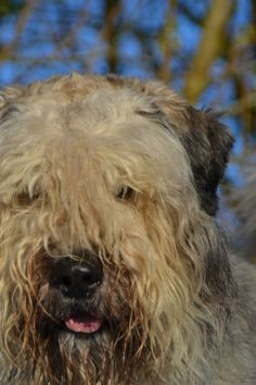 Beautiful Bouvier des Flandres, Django