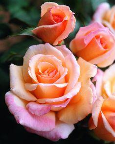 hybrid tea roses yards Bulbs - Hybrid tea roses yards & hybride teerosen meter & chantiers de roses de thé hybrides & yardas de r - Flowers Background, Flowers Wallpaper, Flowers Name List, Flower Names, Roses Pink, Yellow Roses, Peach Colored Roses, Peach Rose, Roses Pinterest