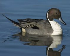 Northern Pintail | Audubon Field Guide