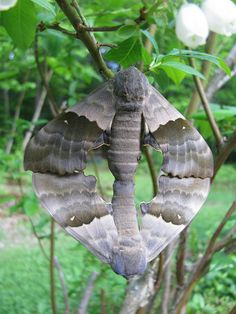 """Two moths getting """"down and dirty."""""""