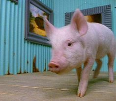 Piglet is ready for his close up! @PBS Nature explains that pigs are actually quite smart, clean & lean.