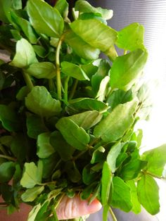 Watercress typically grows by waterways, hence the name. It is a spicy green that grows abundantly in the spring season. Good to harvest away from unpolluted waters.