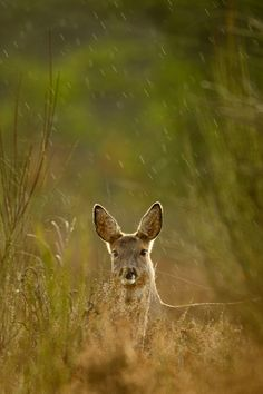 Roe deer in the rain by René Visser