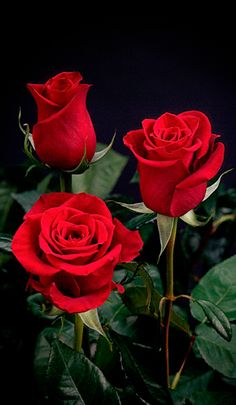 Give your event an extravagant elegance with XXL Extra Extra Large Long Stemmed Freedom Red Roses. These roses have large blooms with gently curling petals and Amazing Flowers, Beautiful Roses, My Flower, Flower Power, Beautiful Flowers, Birth Flower, Romantic Roses, Hello Beautiful, Beautiful People