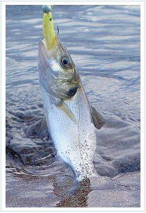 El jerkbait de vinilo no es otra cosa que un señuelo, normalmente alargado o con forma de pez, que se maneja con la puntera de la caña, dando tironcitos para