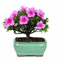 Outdoor Bonsai Tree, Flowering Bonsai Tree, Bonsai Trees For Sale, Bonsai Tree Types, Indoor Bonsai, Bonsai Plants, Bougainvillea Bonsai, Patio Plants, Buy Plants