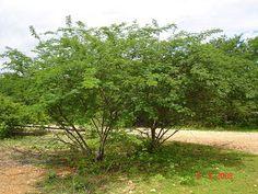 Jurema Preta - Jurema (Acacia Jurema mart.)