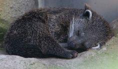 Baby binturong bearcat. Looks cuter asleep than awake.