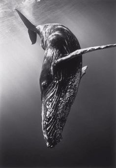 Diving Humpback Whale by Wayne Levin.