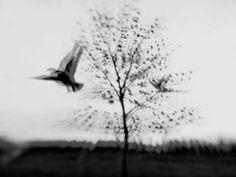 Bill Callahan    Demasiados pájaros en un árbol. Demasiados pájaros en un árbol. Y el cielo se tiñe de negro como una especie de hojas negras. El cielo está misteriosamente negro.