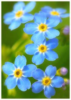 ~~Forget me not flowers by Tiina Kujala~~