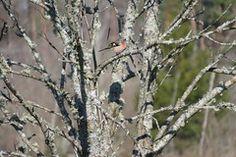 Metsvint / Common chaffinch / Fringilla coelebs Chaffinch, Animals, Zebra Finch, Finches, Animales, Animaux, Animal, Animais