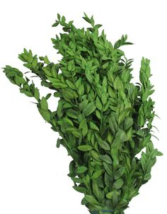 Preserved Boxwood Bundle in Natural Green - 5 oz  Preserved Boxwood Bundle in Natural Green. Bundle comes in 5 oz packages. Number of stems varies because of the nature of the product, approximately 4 large stems per bunch. Makes a great filler.  #afloral