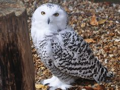 Everybody knows the bird, but most us have never seen it in the flesh: the great white owl of northern North America and Eurasia known as the snowy.