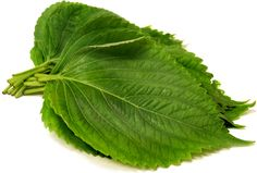 Perilla leaves are broad and round to spade like in shape with serrated edges. The leaves have a slightly fuzzy texture and are vivid green on their front side.