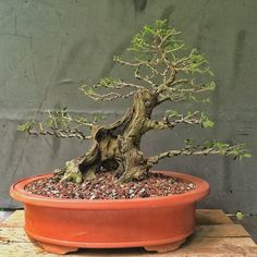 And all along you all though that caring for a bonsai tree took up all your time, sitting in the garden, babying and doting over it, drinking green tea and eating sushi. Ficus Bonsai, Indoor Bonsai, Bonsai Garden, Indoor Plants, Juniper Bonsai, Bonsai Trees For Sale, Bonsai Tree Care, Bonsai Tree Types, Japanese Bonsai Tree