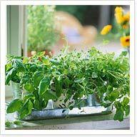Helpful hints on growing an indoor herb garden. I like the salt shaker idea!