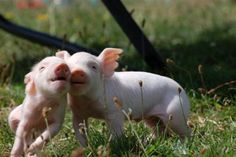 Piglets from Brightside Farm Sanctuary frolicking