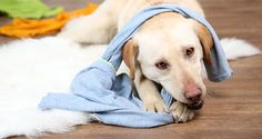 How to deal with unwanted chewing/ Dog chewing clothes on the floor
