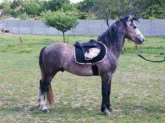 Welsh Pony Pripustanie - 1