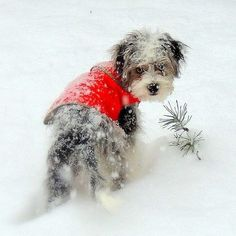 Yeah. OK. You found me. Guess the sweater gave me away. Yeah... thanks for THAT Christmas gift. So, can we go back inside now? I need to defrost my eyebrows... ~E.  (#PBHolidayPets #Guinness Photo by photobucket | Photobucket)