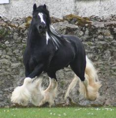 Gypsy Vanner - gorgeous