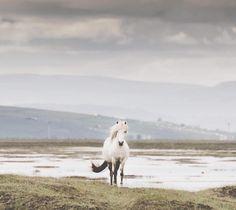 "3,568 Likes, 22 Comments - Horses of Iceland (@horsesoficeland) on Instagram: ""Hello beauty! #horsesoficeland Stunning capture by @nibefoto"""