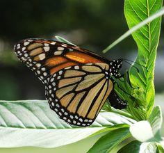 butterfly free high resolution wallpaper