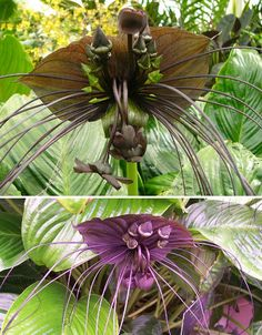 The black bat flower (Tacca chantrieri) aka, the devil's flower; the tropical flower produces unusual black blooms & can be found in Africa, Madagascar and northeast South America.