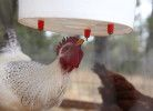 Chicken Nipple Waterer
