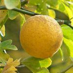 Winterharde Citroen - Fruitbomen.net Mobiel