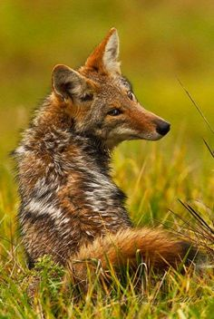 Wild 'E' Coyote, genius. Beautiful Creatures, Animals Beautiful, Fuchs Baby, Malamute, Fennec, Baby Animals, Cute Animals, Coyotes, Coyote Hunting