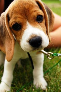Beagles | 10 Most Loyal Dog Breeds of All times #3  I love their sweet faces!!
