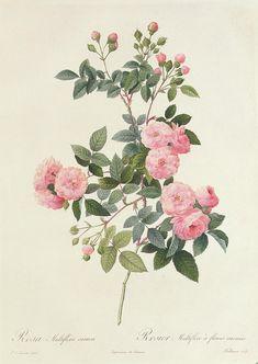 Rosa Çizimi - Rosa Multiflora Carnea - Pierre Joseph Redoute