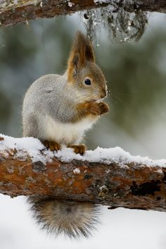 Winter Red Squirrel, photographed by Andy Trowbridge.