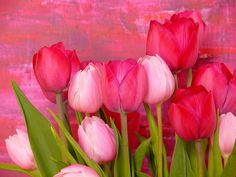pink tulips <3