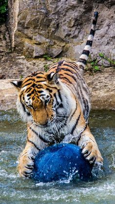 Tiger at play by Neil Anderson on 500px