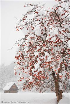 ***Winter Persimmon Tree (Japan) by Martin Bailey on 500px❄️