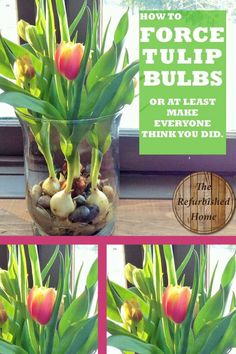 How to force tulip bulbs....okay...this is a HACK but it looks great and no one will know unless you tell them how you did it!