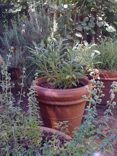 Sage, Rosemary, Thyme, and Marjoram in Italian terracotta pots.