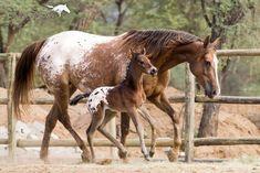 Joseph Dreams, Animals And Pets, Cute Animals, Baby Horses, Appaloosa Horses, Palomino, Long Legs, Horse Racing, Instagram
