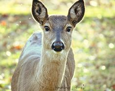 Deer Animal Photo Woodland White Tail Doe Closeup by findingfocus, $28.00
