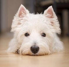 Westhighland White Terrier... darling.