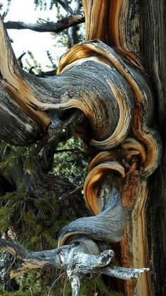 Weird Trees, Bristlecone Pine, Twisted Tree, Unique Trees, Old Trees, Nature Tree, Pine Tree, Tree Art, Tree Of Life