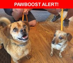 Is this your lost pet? Found in Lakewood, CO 80228. Please spread the word so we can find the owner!  2 small brown dogs m/f  No tags and neither are microchipped  Near W Jewell Ave & W Yale Ave